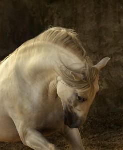 cavallo aggressivo